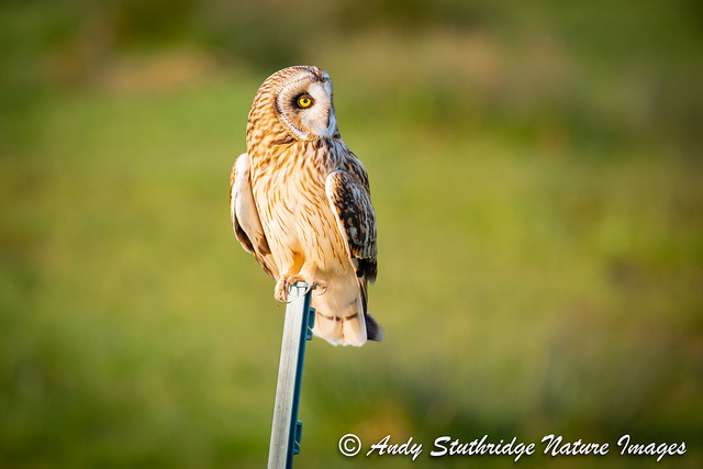 Short Eared Owl on Fence Post