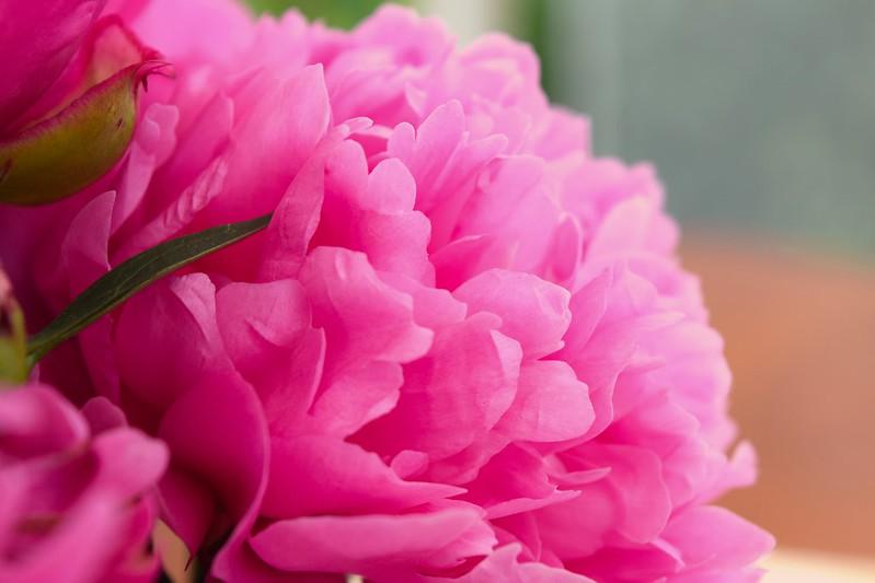Обои цветок, розовый, широкоформатные, пион картинки на рабочий стол, раздел цветы - скачать