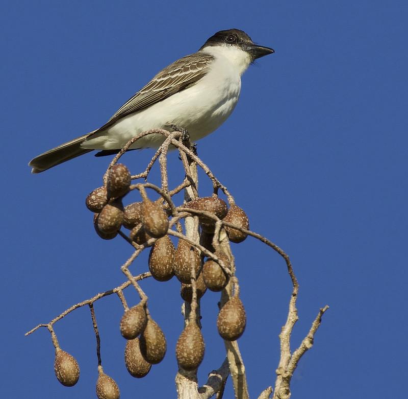 Giant Kingbird, Tyrannus cubensis Ascanio_Cuba 1 199A3698