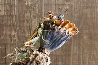 Grasshopper on a poppy seed head.