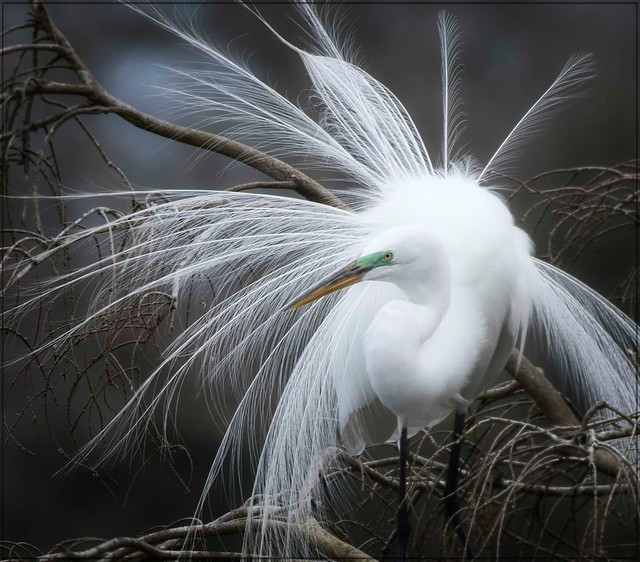 Great Egret displays for mate!