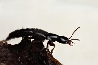 Rove beetle #3 | by Lord V