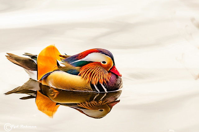 One more picture of Mandarin Duck, Burnaby, BC, Canada