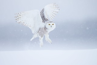 Snowy owl under snow , now we are in great Quebec !! Cold, windy and a cooperative bird, what else could we ask for. A Ghost just fly by , It seems it was yesterday. | by EGO NATURA