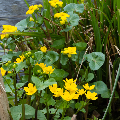 Marsh marigolds, beginning to open