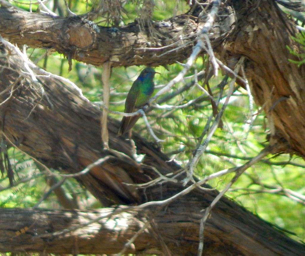 Mexican green eared humming bird