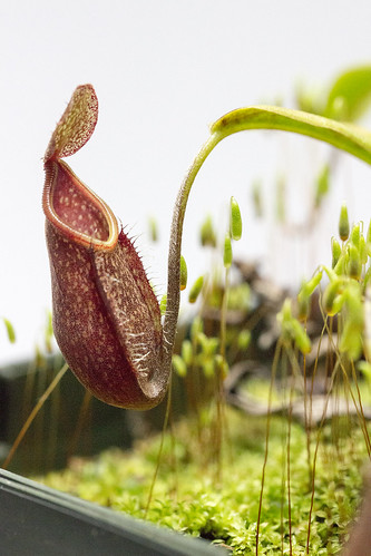 Nepenthes nigra sg