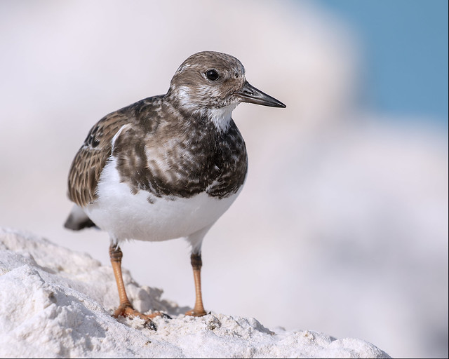 Ruddy Turnstone chilling on a pile of sand