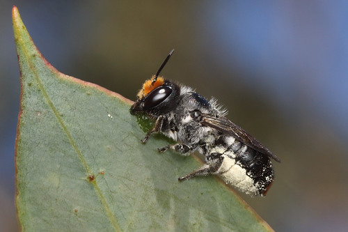 Leafcutter bee  - Megachilidae