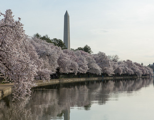 Washington Monument from the Tidal Basin with Cherry Blossoms | by eschweik
