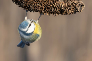 Blaumeise [blue tit] | by Songs.Ohia