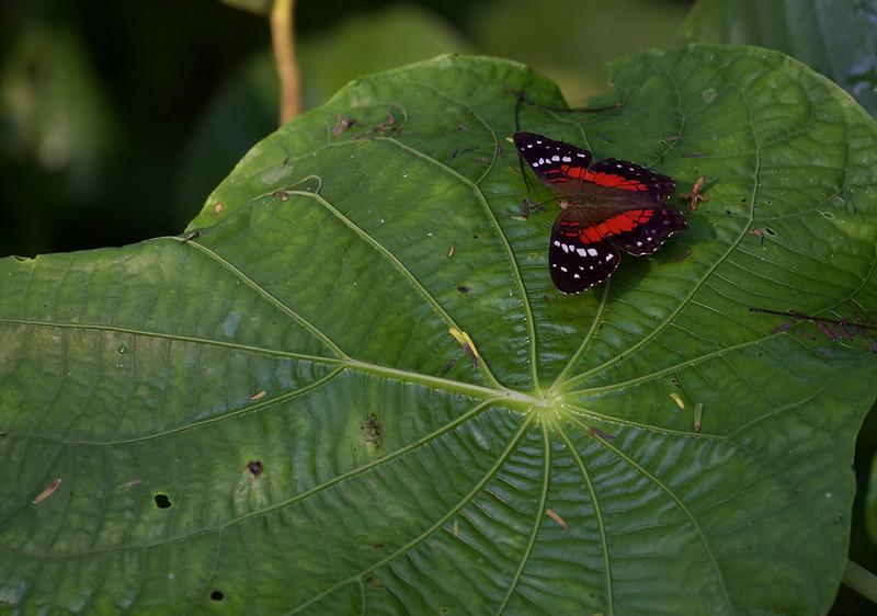 Butterfly Ascanio_Peruvian Amazon 199A6271