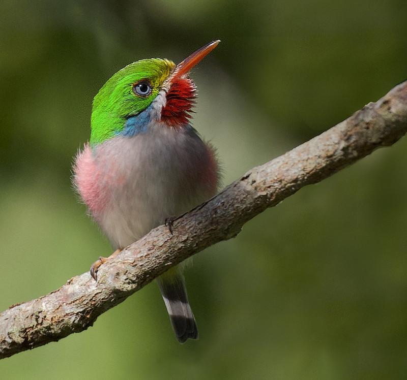Cuban Tody, Todus multicolor Ascanio_Cuba 1 199A3772