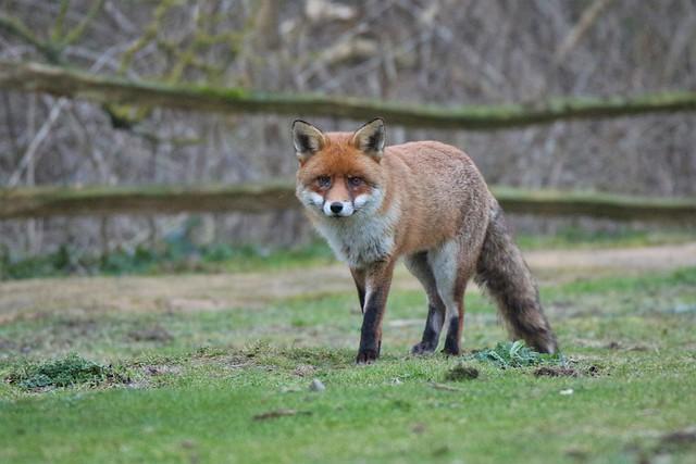 The Red Fox     (Vulpes Vulpes)  Romney Warren Country Park