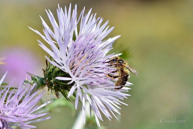 Flor de cardo (Cardota), con abeja.