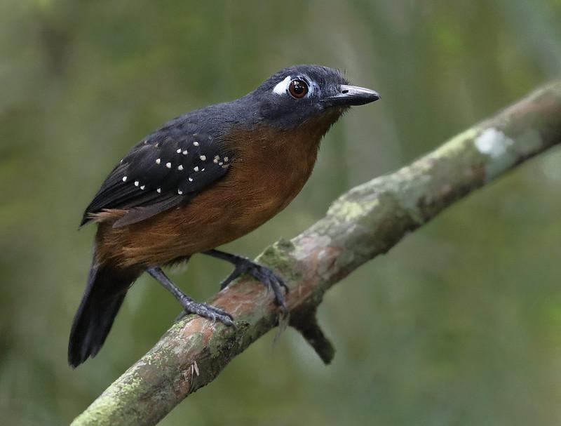 Plumbeous Antbird, Myrmelastes hyperythra Ascanio_Amazon Cruise 199A7880