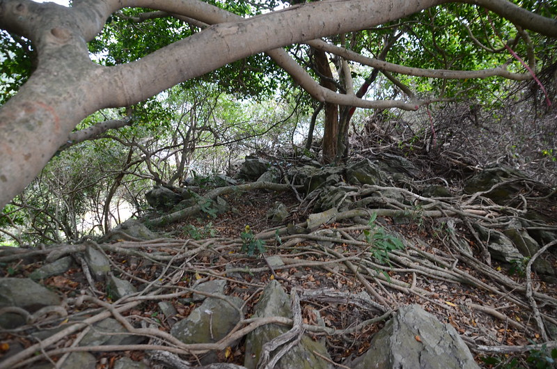 南加津林山稜線巨榕