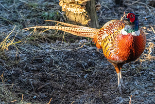 Pheasant | by Cliff Day