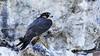 Peregrine falcon  Falco peregrinus by jaytee27