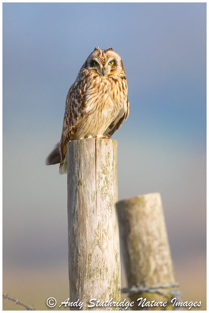 Short Eared owl in Morning Light