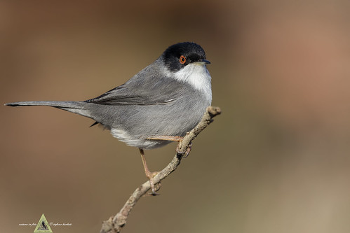 Occhiocotto - Sardinian Warbler - Sylvia melanocephala | by Stef54B