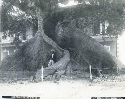 J.F. Coonley - Silk Cotton Tree, Nassau, Bahamas, ca 1890 | by The Caribbean Photo Archive
