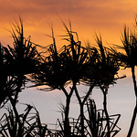 Tropical pandanus