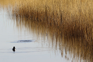Reed Beds | by Paul Marfell
