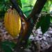 Cacao orgánico de APROSACAO
