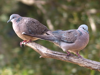 Spotted Doves   by teressa92