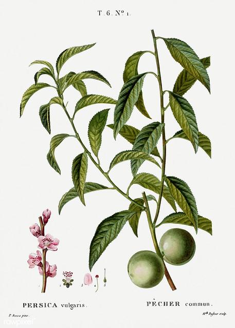Peach (Persica vulgaris) illustration from Traité des Arbres et
