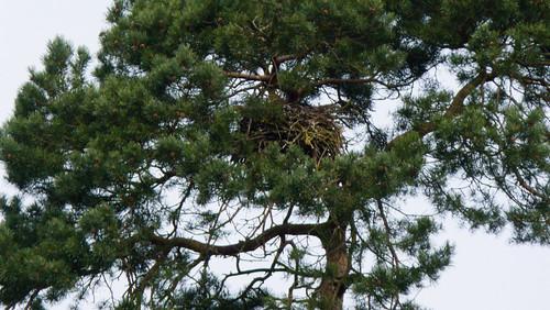 Raven nest, Pendeford Mill LNR