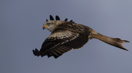 redkite raptor beautiful sky nature wildlife wild wings bird avian birdofprey