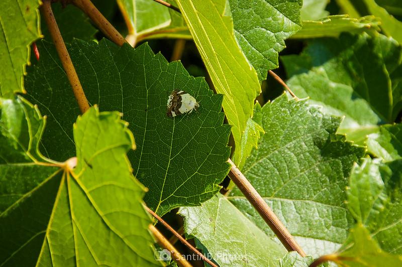 Polilla en hoja de viña