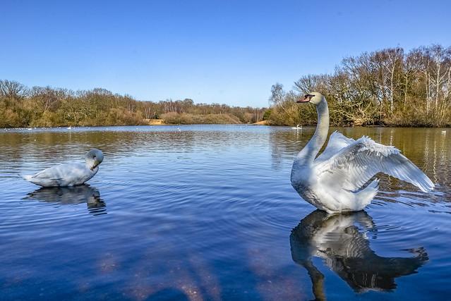 The real swan lake