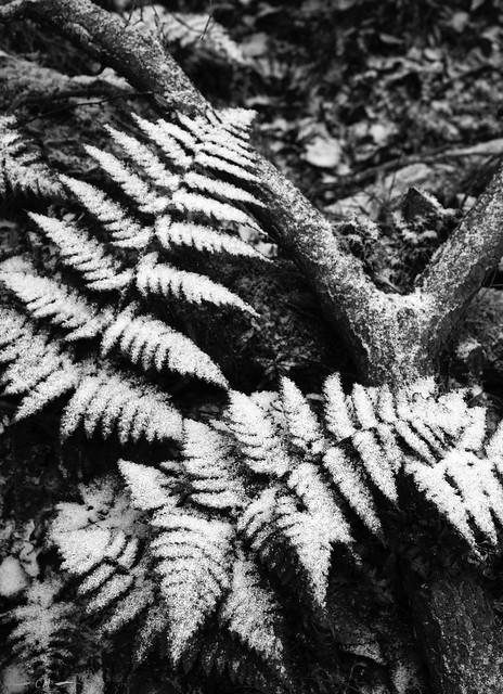 Snow on Ferns