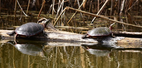 Painted Turtles, Chrysemys picta (4) | by Herman Giethoorn