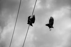 crow play