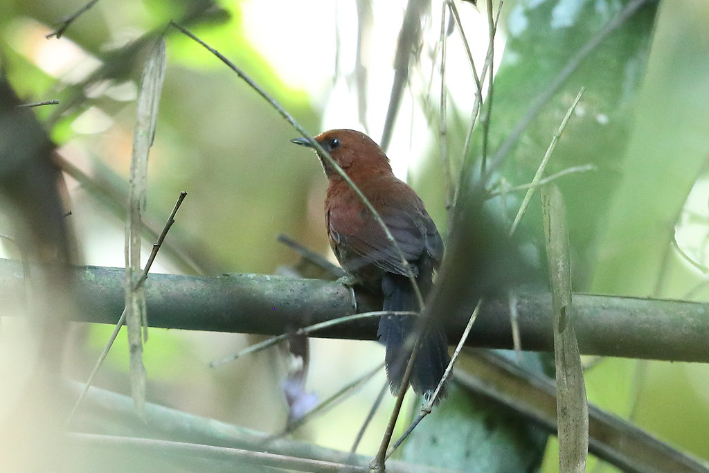 Ruddy Spinetail