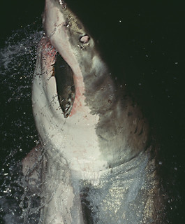 105612 Great White Shark Breaching at Night | by Nick Sidle
