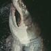 105612 Great White Shark Breaching at Night