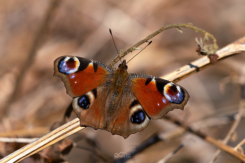 Peacock | Aglais io | by http://www.richardfoxphotography.com