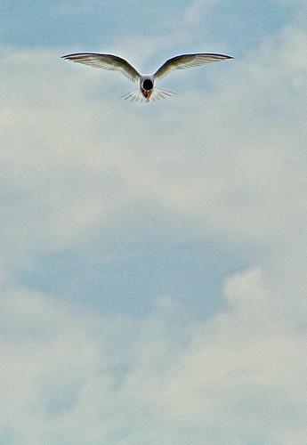 bird flying avocet clouds