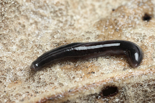 Terrestrial flatworm #1 | by Lord V