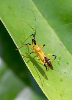 Assassin Bug   by chaz jackson
