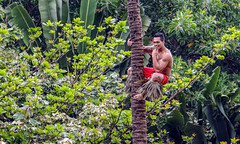 Coconut Tree Climbing at the Polynesian Cultural Center on Oahu, Hawaii