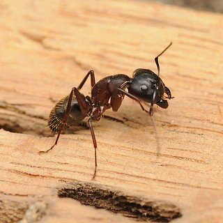 Carpenter ant nesting #ithacany #cortlandny #elmirany #corningny #trumansburg #pestcontrol #antexterminator #carpenterants #wooddamage | by expertenv