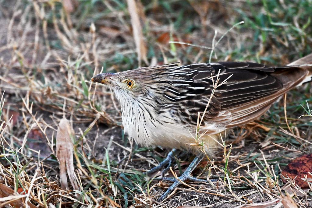 Guira Cuckoo (Pousada Piuval)