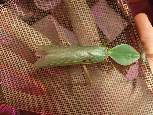 R. basalis F2 male | by hawken.carlton