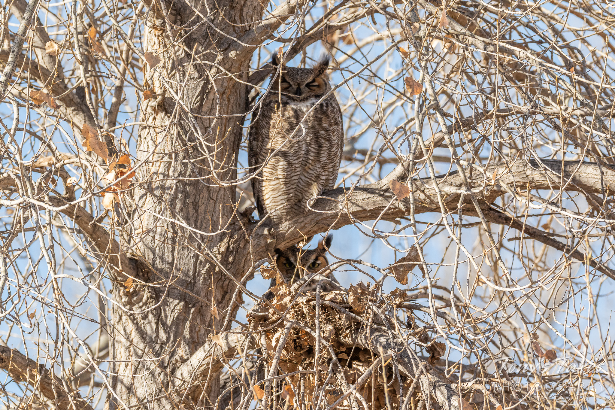 A pair of great horned owls keeps themselves concealed close to a tree's trunk in Thornton, Colorado. (© Tony's Takes)